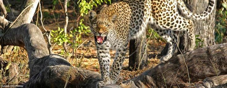 leopard_pexels_L